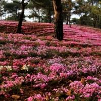 谢谢!开在地上的粉色樱花海 让我遇见你