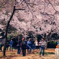 新宿御苑 东京最大的赏花场所 为喜爱樱花的你带来视觉盛宴