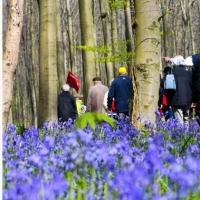 宛如精灵居住的湛蓝色花海 比利时梦幻的风信子森林